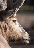 Deer antlers — Stock Photo