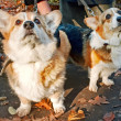 Welsh Corgi Cardigan — Stock Photo