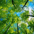 Tree canopy — Stock Photo