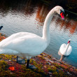 Beautiful swans - Stock Photo