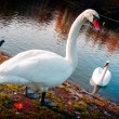 Stock Photo: Beautiful swans