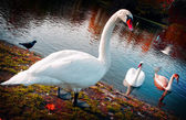 Beautiful swans — Stock Photo