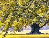 Huge oak tree in park — Stock Photo