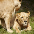 Close-up of Lionesses — Stock Photo