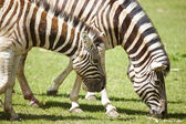 Young zebras — Stock Photo