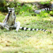 Cute lemur kata — Stock Photo #26563853