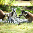 Cute lemur kata — Stock Photo #26564523