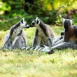 Cute lemur kata — Stock Photo #26564735
