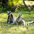 Cute lemur kata — Stock Photo #26569737