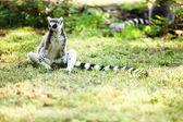 可爱狐猴卡塔 — 图库照片