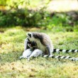 Cute lemur kata — Stock Photo