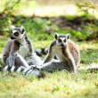 Cute lemur kata — Stock Photo #26571431