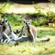 Cute lemur kata — Stock Photo #26572599