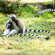 Cute lemur kata — Stock Photo #26574481