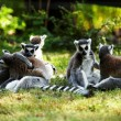 Stock Photo: Cute lemur kata