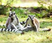 Cute lemur kata — Stock Photo
