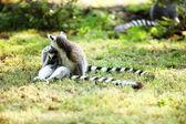 かわいいキツネザル カタ — ストック写真