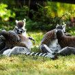 Cute lemur kata — Stock Photo #26583091
