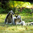 Cute lemur kata — Stock Photo #26605517