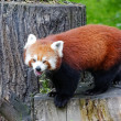 Red panda — Stock Photo #27715977