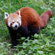 Red panda — Stock Photo #27716211