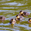 Cute ducklings — Stock Photo