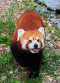 Red panda ( Ailurus fulgens) — Stock Photo