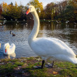 Graceful swan — Stock Photo