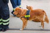 Cute dog in fire brigade — Stock Photo