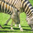 Stock Photo: Grazing zebras