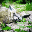 Resting wolf — Stock Photo