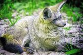 Resting wolf — Stock Photo