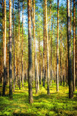 Forest in Poland — Stock Photo