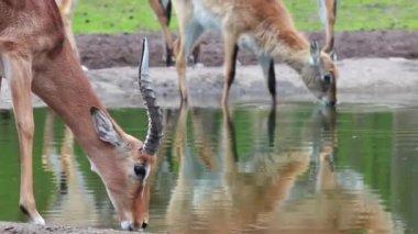 Impala — Stock Video