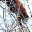 Stock Video: Red panda