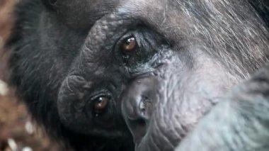 Gorilla face — Stock Video