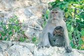 Scimmia allattamento al seno — Foto Stock
