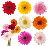 Flower of gerber daisy collection — Stock Photo