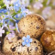 Quail eggs and spring flowers — Stock Photo