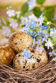 Quail eggs in the nest and forget-me-not — Stock Photo