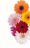 Daisy flower gerbera bouquet — Stock Photo