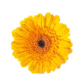 Yellow gerbera flower on a white background — Stock Photo