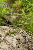 Green lizard against the nature — Stock Photo