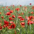 Poppies on blue sky background — Stock Photo
