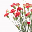 Stock Photo: Red carnation flowers