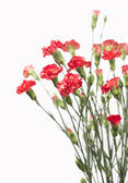 Red carnation flowers — Stock Photo