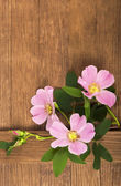 Dogrose flowers — Stock Photo