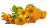 Calendula blomma isolerade — Stockfoto