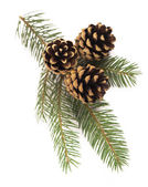 Fir-tree branch with cones — Stock Photo