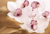 Zbliżenie kwiatów biały storczyki — Zdjęcie stockowe